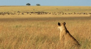 09-LIONESS-WATCHING-PREY@body